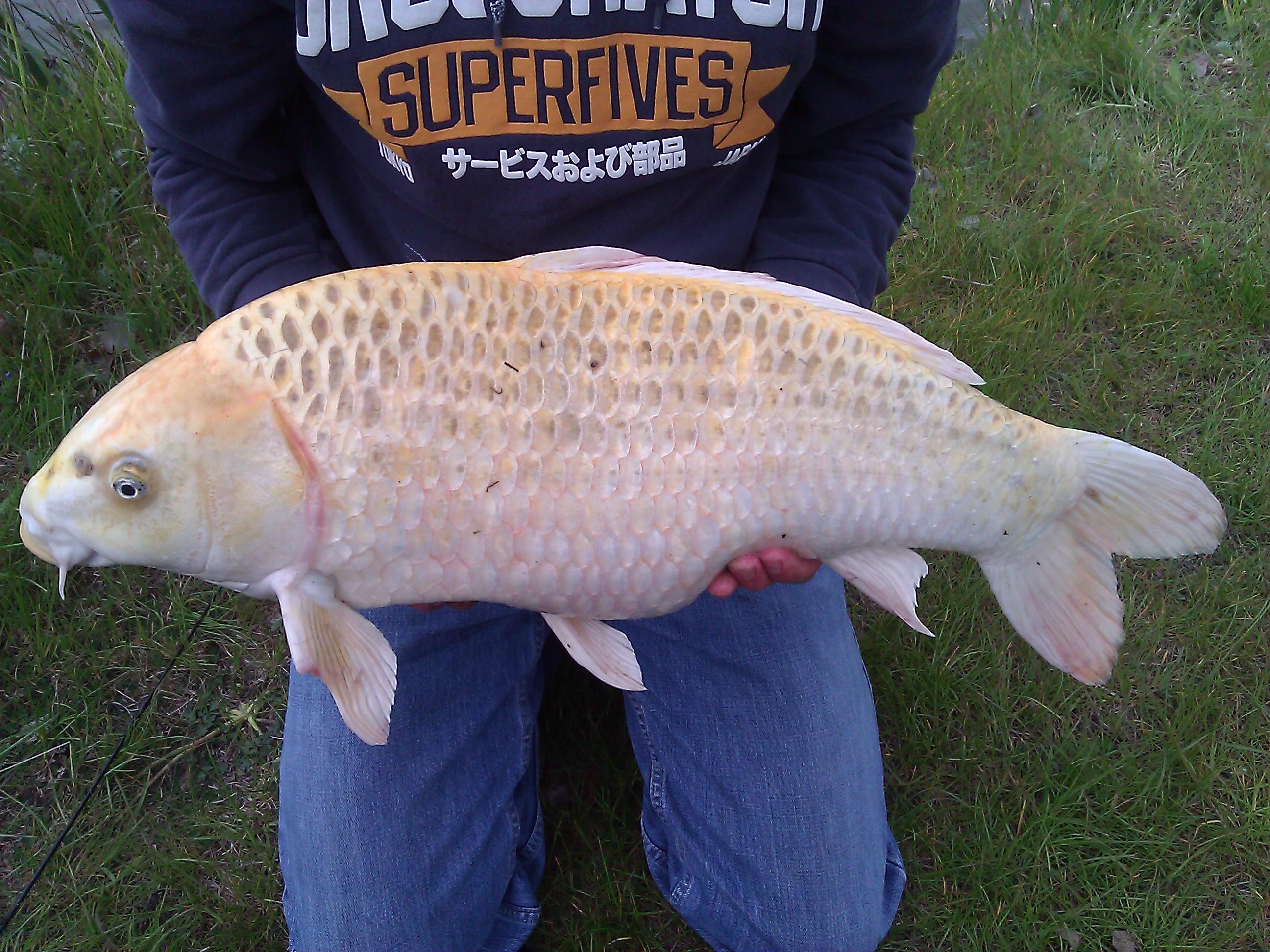 Shane charles s fishing diary koi carp fishing at for Koi carp farm