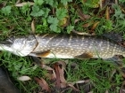 Wally Pickering 12lbs 2oz Pike from river idle. got this today one of three 12lb 20z , on deadbait mackrell...