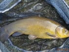3lbs 5oz Tench from Tackeroo using Pyramid tutti frutti.