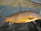 6lbs 12oz Common Carp from Tackeroo using Pyramid tutti frutti.