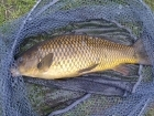 4lbs 8oz Common Carp from Tackeroo using Mainline Cell.