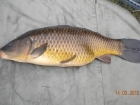 6lbs 13oz Common Carp from Tackeroo using Pyramid tutti frutti.