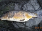 11lbs 0oz Mirror Carp from Tackeroo using Mainline Cell.