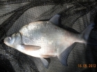 1lbs 4oz Bream from Calh Heath Reservoir using Mainline Cell.