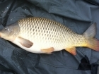 9lbs 6oz Common Carp from Kingswood Lake using Mainline Cell.
