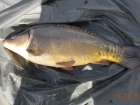 10lbs 13oz Mirror Carp from Turf pool using Mainline Cell.