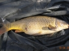 11lbs 14oz Common Carp from Turf pool using Mainline Grange CSL.