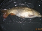 8lbs 2oz Common Carp from Turf pool using Mainline Grange CSL.