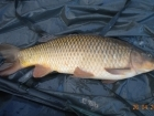 8lbs 7oz Common Carp from Turf pool using Mainline Grange CSL.