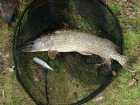 11lbs 0oz Pike from Local Club Water using Mackerel.. Only had a few hours but managed this one.