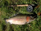 Paul Fletcher 9lbs 4oz Rainbow Trout from Lechlade Trout Fishery using Home tied green epoxy buzzer.. Caught casting to a crusing fish. Using a SAGE XP rod, Scientific Anglers reel, Cortland 333